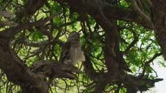 Verreaux's eagle-owl (Bubo lacteus) - in tree with prey, wide
