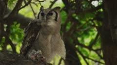 Verreaux's eagle-owl (Bubo lacteus) - in tree with prey, medium