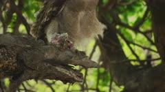 Verreaux's eagle-owl (Bubo lacteus) - in tree with prey, close tilt