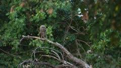 Verreaux's eagle-owl (Bubo lacteus) - chick on branch, wide