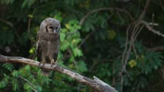 Verreaux's eagle-owl (Bubo lacteus) - chick on branch, medium