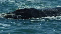 Southern right whale (Eubalaena australis) - close of head surfacing