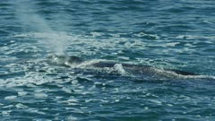 Southern right whale (Eubalaena australis) - medium sprays from blowhole, submerges