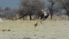 Common Ostrich (Struthio camelus) chasing Black-backed jackal away from chicks