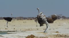 Common Ostrich (Struthio camelus) running to scare away raptor
