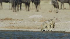 Black-backed jackal (Canis mesomelas) drinking, wildebeest in background, medium
