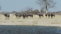 Black-backed jackal (Canis mesomelas) drinking, wildebeest in background, wide