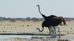 Common Ostrich (Struthio camelus) drinking, medium
