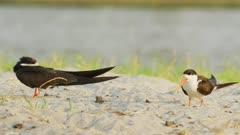 African skimmer (Rynchops flavirostris) - pair on sandbank