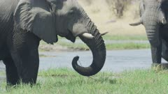 African elephant (Loxodonta) - feeding in marsh, close