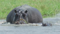 Hippopotamus (Hippopotamus amphibius) - juvenile enters water followed by mother