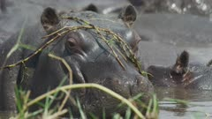 Hippopotamus (Hippopotamus amphibius) - with grass on head, close