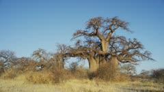 Kubu Island - large baobab