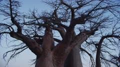 Kubu Island - tilt of baobab tree