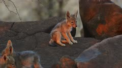 Black-backed jackal pups - pair playing on rock, medium