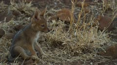Black-backed jackal pups - walking out from bushes, sitting down, medium
