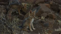 Black-backed jackal pups - sitting and looking around
