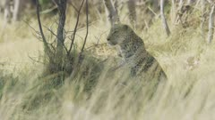 Leopard (Panthera pardus) - through grass, looking for prey, medium