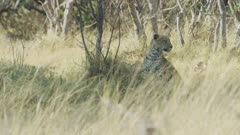 Leopard (Panthera pardus) - through grass, looking for prey, wide