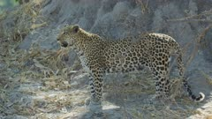 Leopard (Panthera pardus) - standing in front of anthill, medium