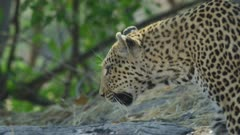 Leopard (Panthera pardus) - standing in front of anthill, then walks into thicket, close