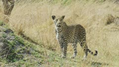 Leopard (Panthera pardus) - walking toward camera, stops to look around, medium