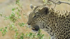 Leopard (Panthera pardus) - looking to left then lies down on anthill, medium close