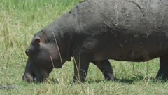 Hippopotamus (Hippopotamus amphibius) - grazing on land, medium close