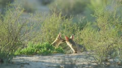 Cape Fox (Vulpes chama) - pair sniffing wide