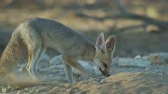 Cape Fox (Vulpes chama) - digging in sand, medium close