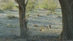 Cape Fox (Vulpes chama) - runs toward camera, wide