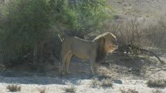 Lion (Panthera leo) - big male smelling, scenting and rubbing bush, medium