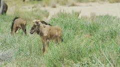 Wildebeest (Connochaetes taurinus) - foals in greenery, medium wide