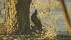 Pale chanting goshawk (Melierax canorus) - walking around base of tree