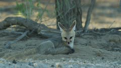 Cape Fox (Vulpes chama) - gets up, digs, then lies down again, medium close