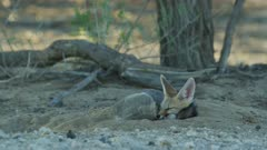 Cape Fox (Vulpes chama) - sleeping, curled up, medium wide