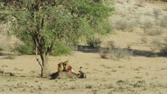 Lion (Panthera leo) - big male eating wildebeest kill, wide