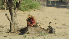 Lion (Panthera leo) - big male eating wildebeest kill, gets up and walks away, medium