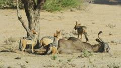 Black-backed jackals on lion kill
