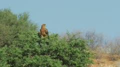 Tawny eagle (Aquila rapax) - perched on tree