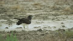 African hawk eagle (Aquila spilogaster) - drinking from puddle, medium