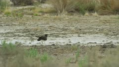 African hawk eagle (Aquila spilogaster) - drinking from puddle, wide