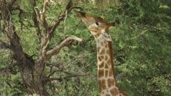 Giraffe (Giraffa giraffa) - eating from tall tree, close