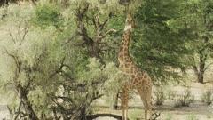 Giraffe (Giraffa giraffa) - eating from tall tree, medium