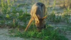 Black-backed jackal (Canis mesomelas) - licking dew off grass, medium