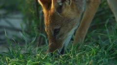 Black-backed jackal (Canis mesomelas) - licking dew off grass, close