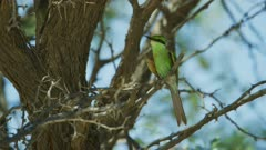 Swallow-tailed bee-eater (Merops hirundineus) in tree