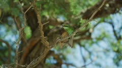 Swallow-tailed bee-eater (Merops hirundineus) in tree, preening, wide
