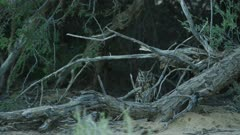 Spotted eagle-owl (Bubo africanus) on ground, wide