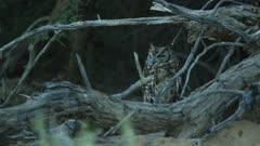 Spotted eagle-owl (Bubo africanus) on ground, medium